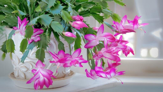 Christmas cactus doesn't need to be pruned to be kept in shape