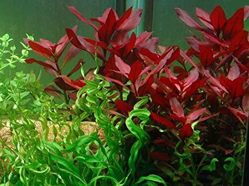 The most common for koi ponds is the Red Ludwigia
