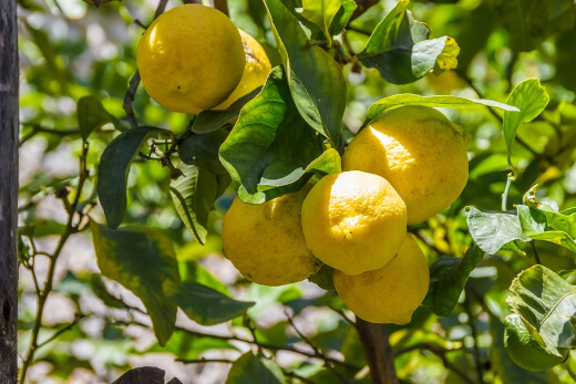 Lemon prevents kidney stones and minimizes the risk of cancer