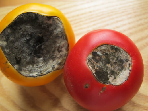 The tomato flower's bud rot doesn't show any signs until your fruit begins to ripen