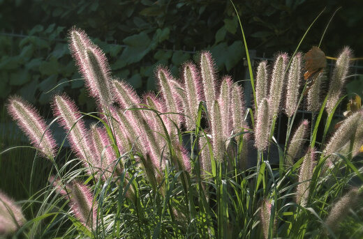 Ornamental grasses offer yet another alternative to the traditional lawn