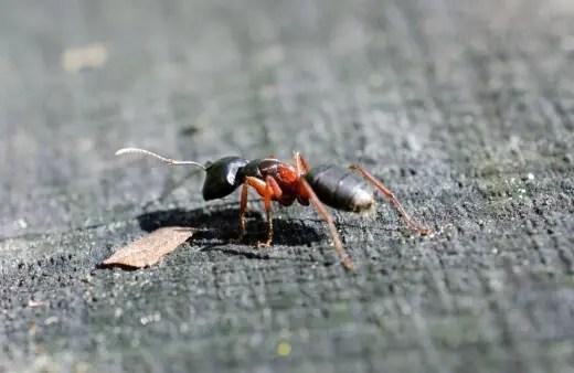 Las hormigas carpinteras viven y se sienten atraídas por la madera húmeda y en descomposición.