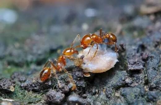Las hormigas de fuego son posiblemente una de las hormigas más problemáticas que se encuentran en su jardín