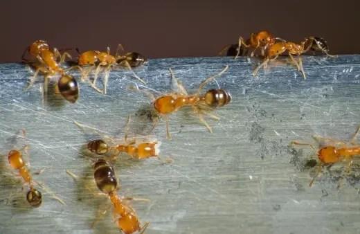 Las hormigas faraón son las menos probables de encontrar de estas cuatro en el jardín, sin embargo, una vez que invaden, son extremadamente difíciles de controlar.