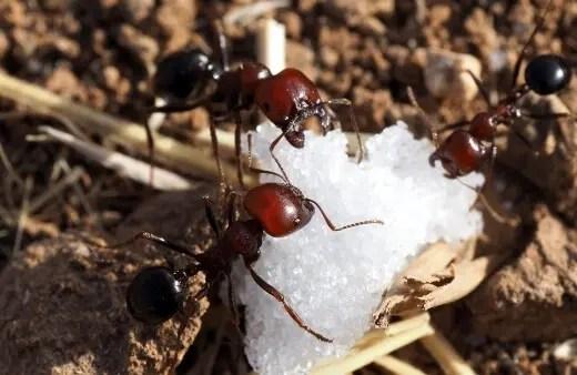 hormiga de azúcar es típicamente un término general para las hormigas pequeñas que se sienten atraídas predominantemente por los alimentos azucarados y se encuentran cerca de las viviendas