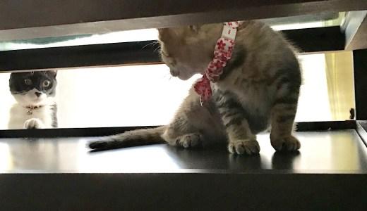 【猫】みぃちゃんがソル君を受け入れるまで