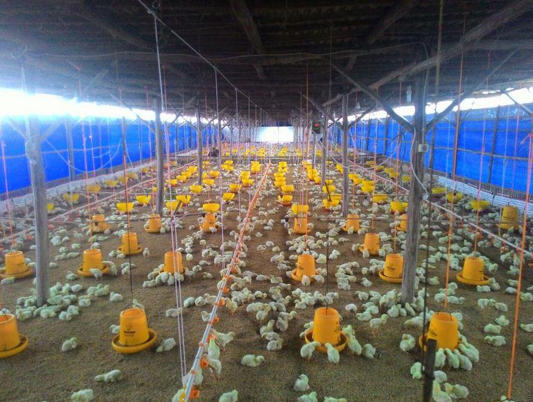 12 Desain Kandang Ayam Petelur dan Broiler Modern  RUMAH