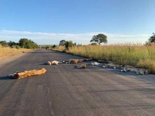 Львы спят на дороге опустевшего из-за коронавируса парка