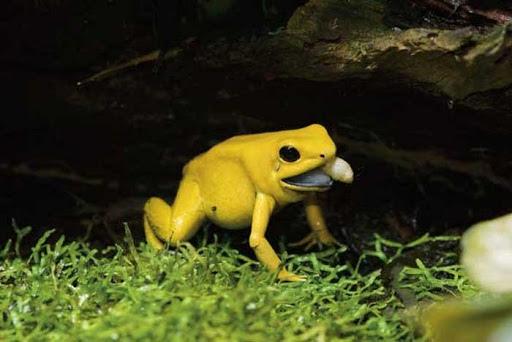 Ужасный листолаз - самое ядовитое животное на Земле