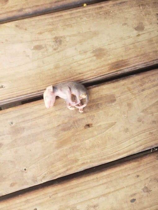 Мама-кошка и малыш опоссум