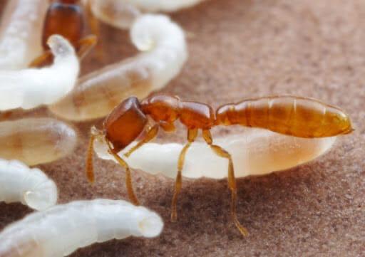 Тропические муравьи Adetomyrma по прозвищу «Дракула»