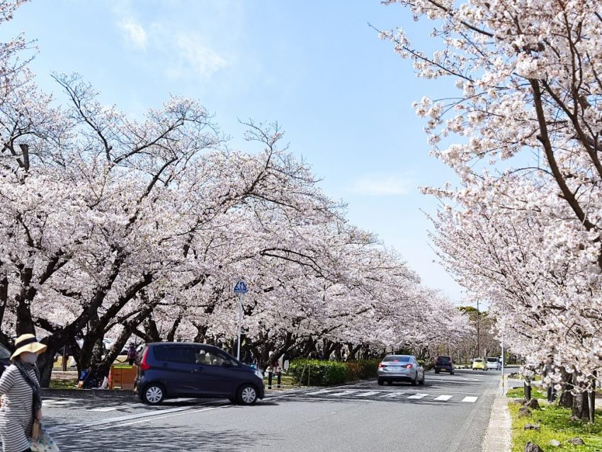 【中津市 大貞公園】大分県内4番人気のお花見スポット!!1300本のソメイヨシノは圧巻♪