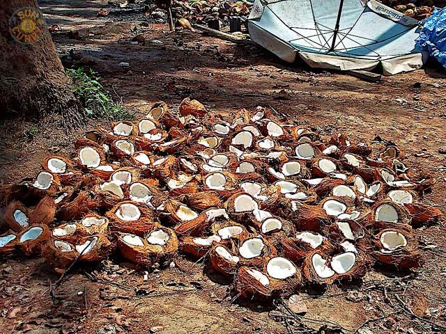 Ko Samui Kokosnuesse