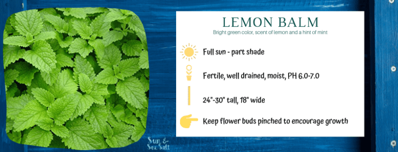 Growing lemon balm in an indoor herb garden