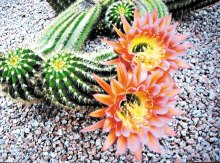 Argentine cactus in Wayne and Kate Chambers' yard.