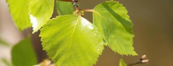 birkeblade