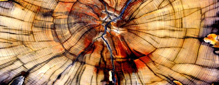 Ulmus rubra – rød elmebark