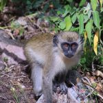 Nevis Monkey Rock Image Sundance Vacations 2