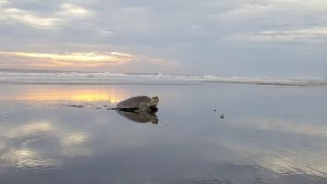 seaturtles-sundance-vacations-destinations-south-padre-island-texas