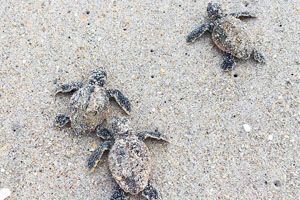Sundance Vacations Hilton Head Loggerhead hatchlings