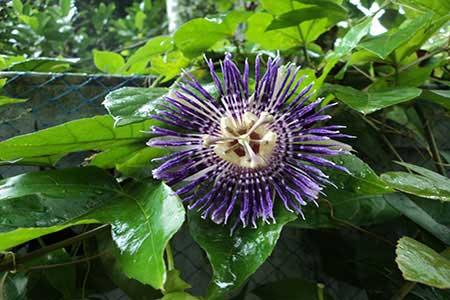 View from Sundara Mahal Garden Passiflora Blue Flower