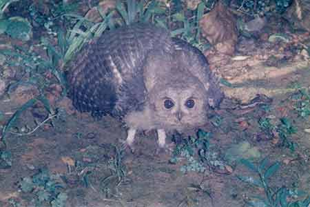 view the The Night Owl who is hard to capture in film