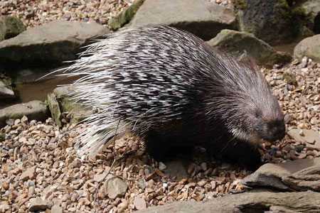 View of the porcupine who lives with his family in the gardens of Sundara Mahal