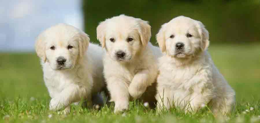 Golden-Retriever-3---Header-for-Pets---SM-Web