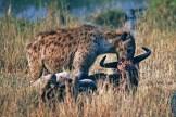 serengeti-hyena-with-wildebeest-kill