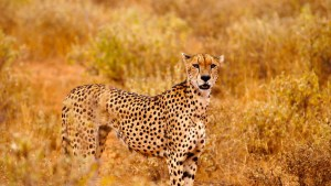 cheetah-on-the-hunt-tsavo-west-kenya-safari