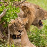 lions-tsavo-east-national-park
