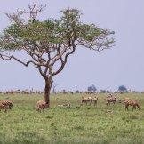 tsavo-east-zebra
