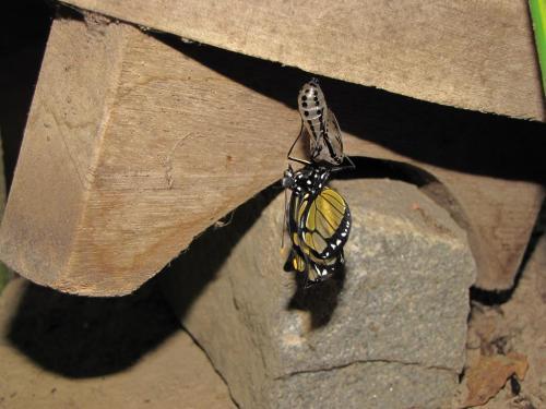 borboleta casulo
