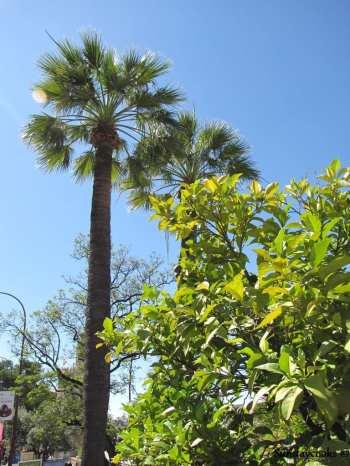 coqueiros de sevilla