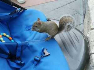 Esquilo amestrado