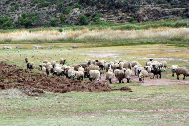Valle Sagrado - Ovelhas pelo caminho