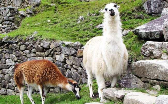 Roteiro do Peru - Machu Picchu - Lhamas