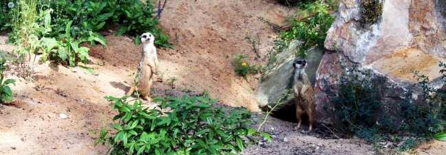 Zoológico de Nuremberg - Suricates