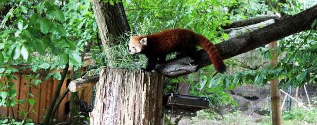 Zoológico de Nuremberg - Red Panda chegando bem pertinho