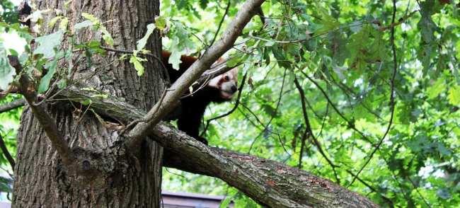 Zoológico de Nuremberg - Red Panda se escondendo