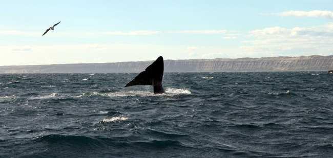Provincia de Chubut - avistando baleias 4