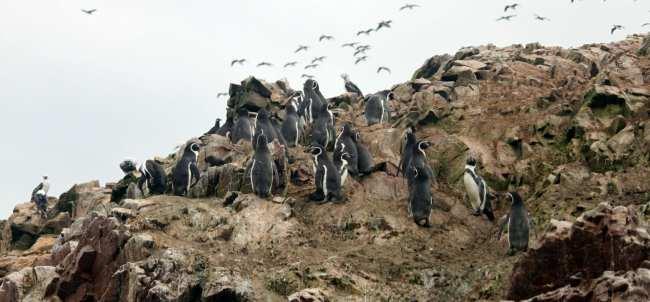 Peru: Ilhas Ballestas e Reserva Nacional de Paracas - 4