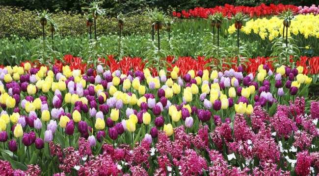 Como ir ao Keukenhof na holanda - jardim de tulipas perto de Amsterdã - 29