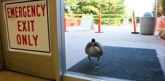 Goose pictured outside CSUN building