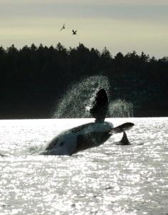 orcas_04