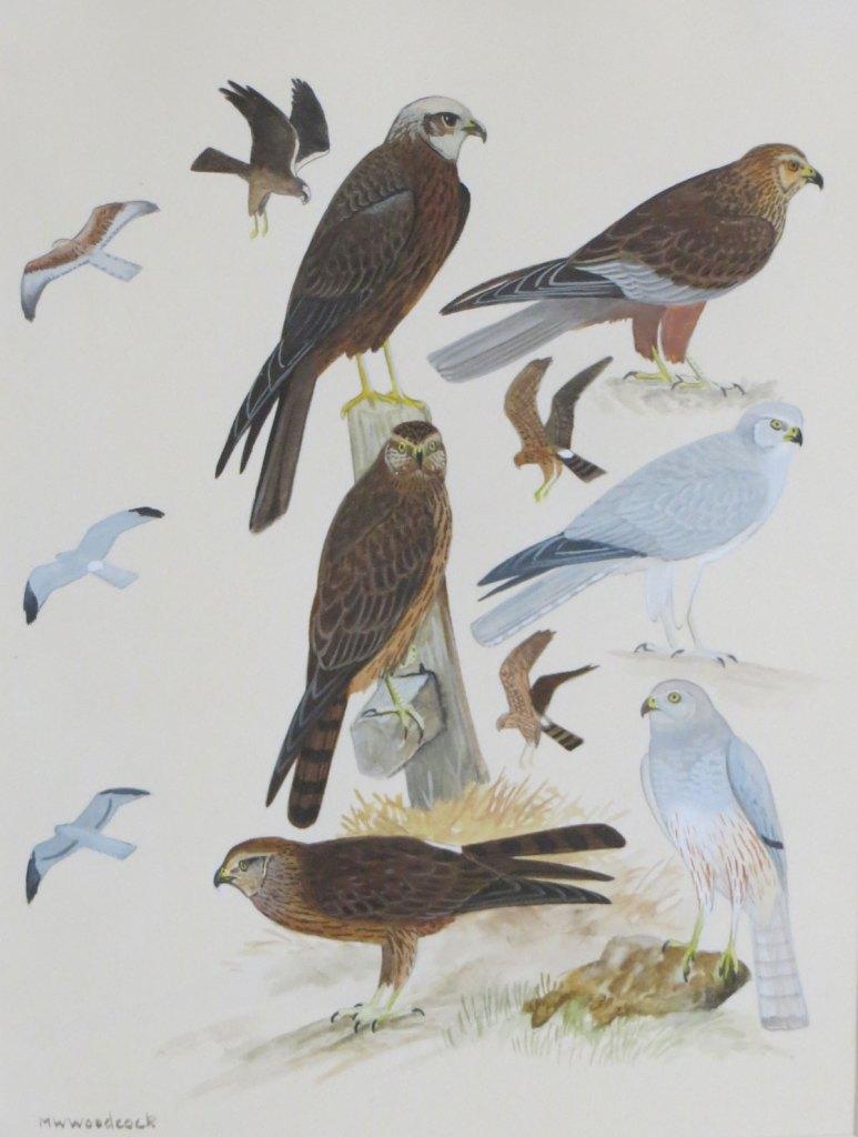 Birds of Prey illustration, MW Woodcock