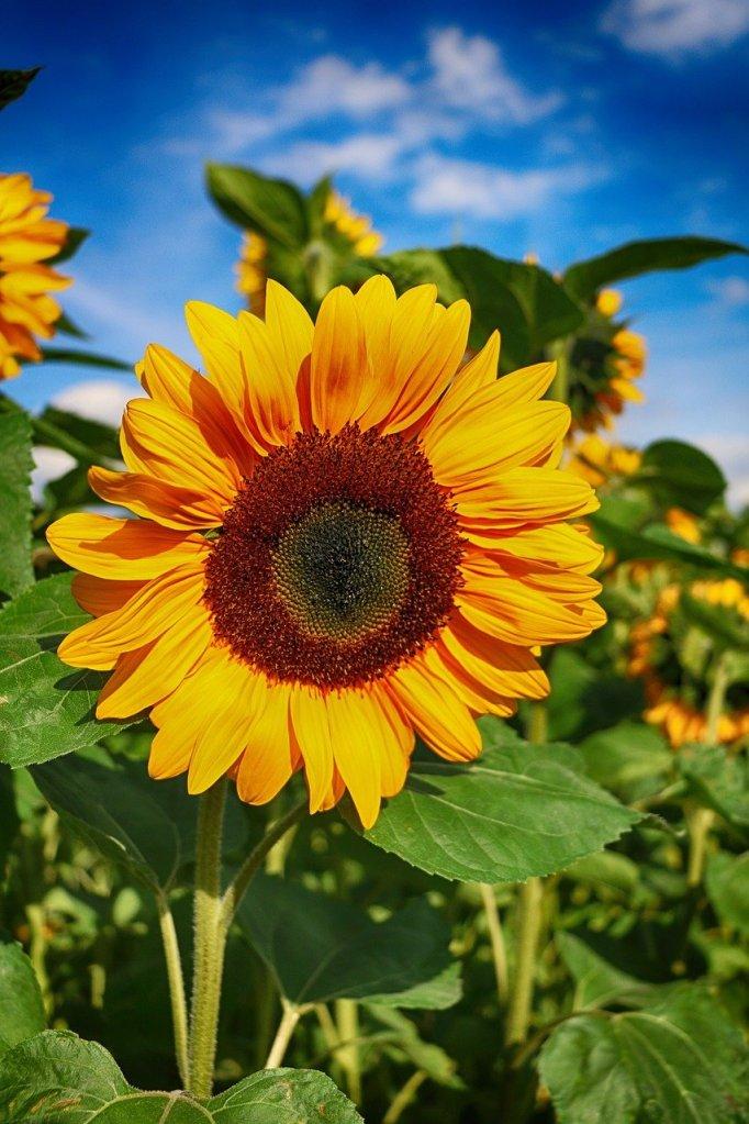 sunflower, flower, blossom, markham, contact, field