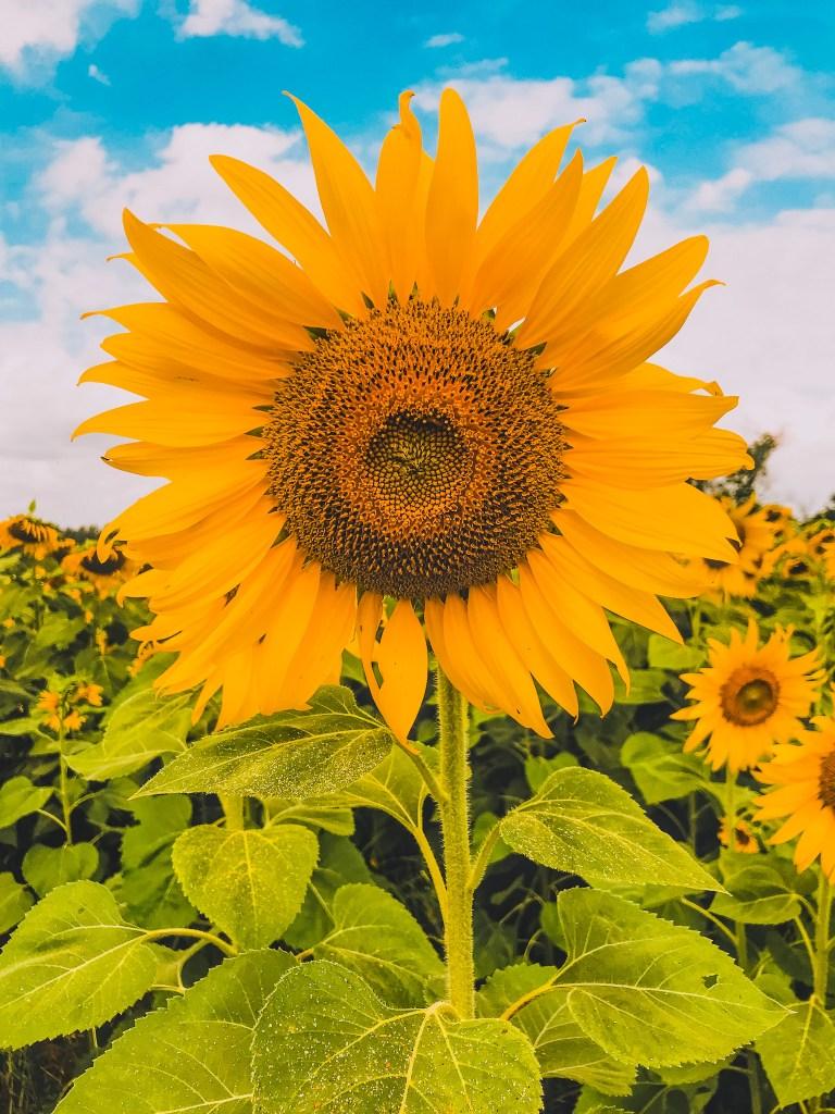 sunflower markham field photographer