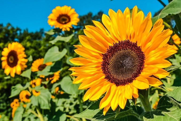sunflower-yellow-flower-