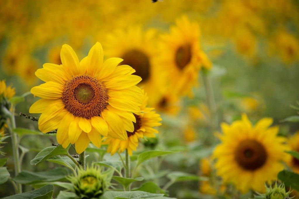 sunflower, yellow, flowers, markham, contact